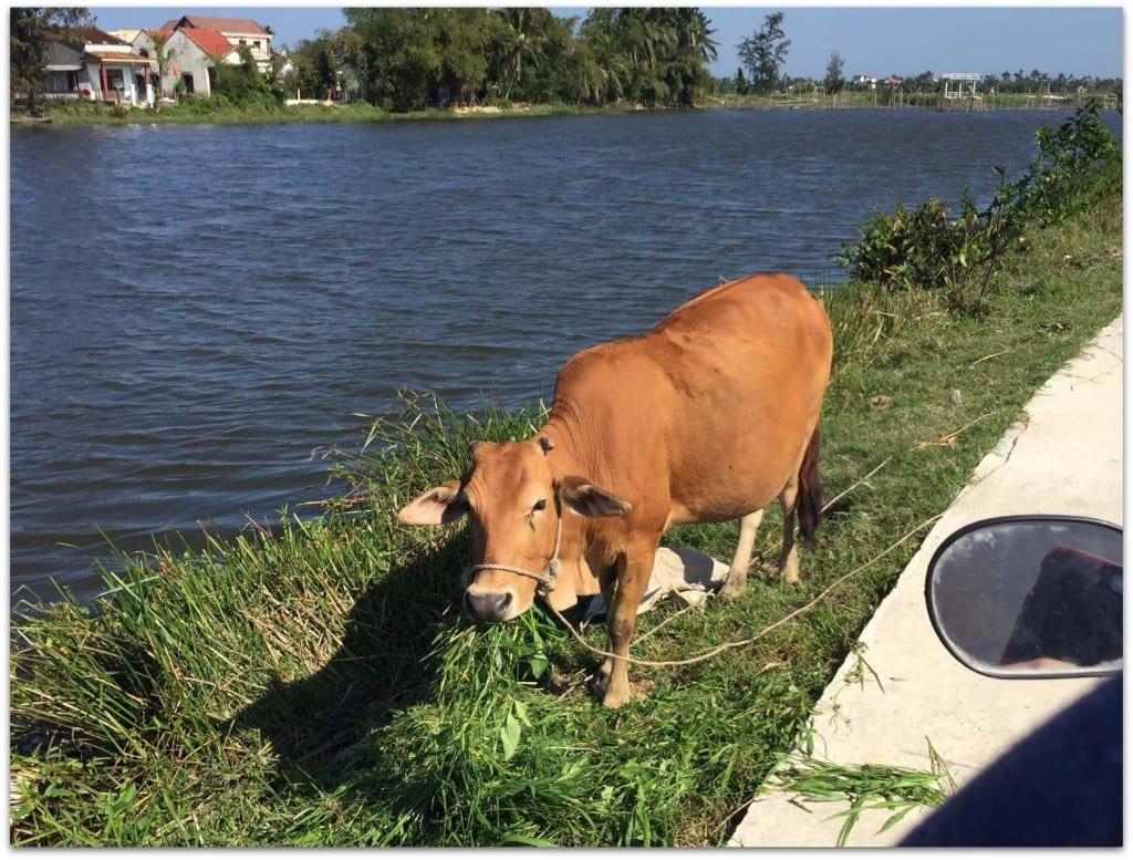 cow hoi an